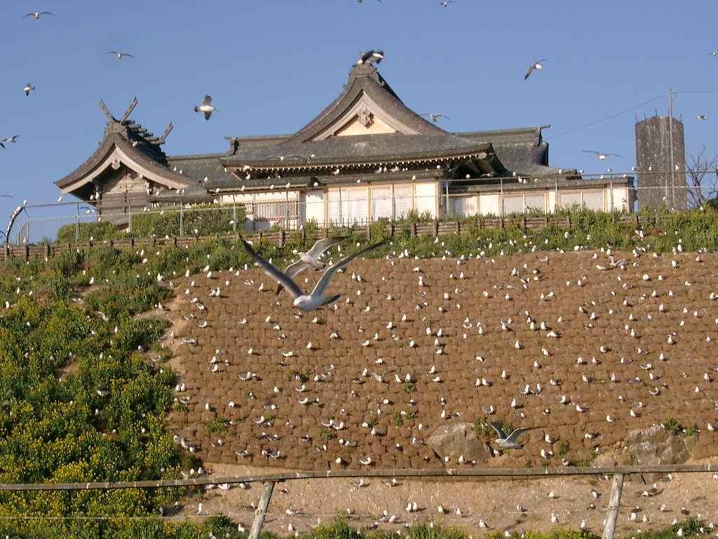 蕪島神社のウミネコ